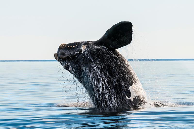 Whale-534